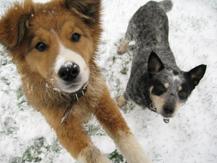 64419-dogs-dogs-in-snow